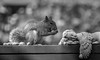 how many will fit? (Dotsy McCurly) Tags: squirrel fence angel sleeping monotone blackandwhite nature beautiful nj newjersey canoneos80d tamron18400mmf3563diiivchld 7dwf yard