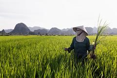 (espinozr) Tags: rice field farmer ninhbinh tamcoc vietnam asia southeastasia picsofasia travelphotography nonla conicalhat 2017