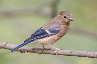 JWL6647  Bullfinch..