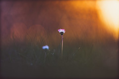 Singularity (der_peste) Tags: flower bokeh dof shallowdepthoffield bokehful bokehlicious 135mm f18 backlight backlit sunset daisy blur