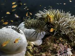 Maldives_IMG_2924-M1s (oalard) Tags: maldives g16 submarinephotography fish poissonclown clownfish anemone