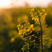 Rapeseed+in+the+Sunset