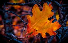 Autumn Oak leaf.   Roxborough State Park, Colorado, USA (BikeColorado) Tags: roxborough state park oak leaf autumn color