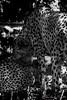 Just like Animals (Francesca Cavallo Photography) Tags: animal animals animalkingdom nature natura animali wild regnoanimale animaladdiction blackandwhite biancoenero monocromo monocromatico bw feline felini felino mammifero mammiferi parcodellecornelle