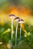 Organic brothers (Tom Rop) Tags: champignon mushroom fungi color couleur bokeh canon 600d sigma 105mm