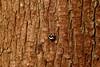 bark stink bugs (yasushiinanaga) Tags: eos6d sigma150600mm japan natuer outside macro insect wood
