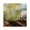 Every thing big starts small. (moniquevantorenburg) Tags: mushroom tiny klein little wood hout paddenstoel funghi autumn herfst2017 bokeh nature fall outdoor nederland thenetherlands doff depthoffield olympusomdem5markii olympus124028pro moniquevantorenburg m43 microfourthirds