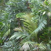 Back garden, 16th October 2017 (tanetahi) Tags: archontophoenixalexandrae palms subtropical garden brisbane