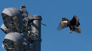 Bald Eagles of the Jersey Shore | 2017 - 89