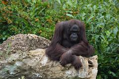 Bornean Orangutan (Pongo pygmaeus) (Seventh Heaven Photography) Tags: orangutan pongo pygmaeus pongopygmaeus chester zoo cheshire england nikond3200 criticallyendangered endangered animal mammal bornean primate