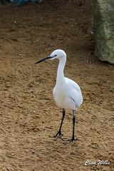 Little egret (wells117) Tags: 2017 banhamzoo clivewells norfolk oct oct2017 zoo little egret waterfowl egretta garzetta