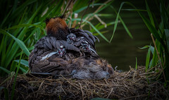 Under a Grebe's wing (neil 36) Tags: grebe three babies nest