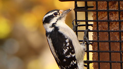 IMG_8262e (blazer8696) Tags: 2017 brookfield ct connecticut ecw obtusehill t2017 table usa unitedstates picidae piciformes picoides woodpecker