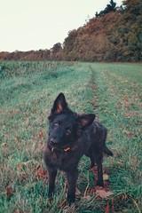 Hello dear friends 🍁 🐶 🍂 (Jos Mecklenfeld) Tags: totoro dutchshepherddog dutchshepherd hollandseherdershond hollandseherder höllandischerschäferhund schäferhund shepherddog shepherd herdershond herder terapel westerwolde groningen dog hund hond puppy sonyxperiaz5 xperia