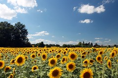 Sunflowers (Thomas Schirmann) Tags: marciac gers tournesols sunflowers champ field fleurs flowers