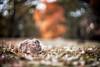 Bokeniglio (antoniopedroni photo) Tags: bokeh sfocato coniglio rabbit helios402 russianlens vintagelens swirlybokeh