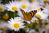 Butterfly among the flowers - Anderson S.C. (DT's Photo Site - Anderson S.C.) Tags: canon 6d 135mmf2l monday andersonsc upstate mums monarch insect garden white scenic plant south carolina america usa