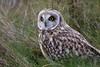 RVS_9848 (Ruud van Staveren) Tags: owl nature velduil bird