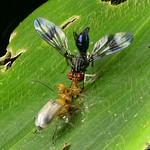 Colorful Fly, Richardia sp., Richardiidae and Leaf beetle, Galerucinae at lunch thumbnail