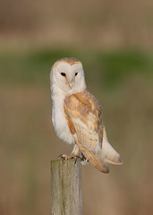 Barn Owl (Birding the day Away !!) Tags: barnowl tytoalba norfolk michaelsouthcott birdofprey