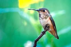 Hummy (Life of David) Tags: california camarillo canon5dmarkiv selasphorussasin usa wildlife allenshummingbird backyard beautiful beauty bird cute feathers hummingbird nature pretty wing wings world100f