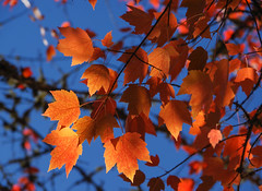 red maple leaves (or sycamore?) (Wayne~Chadwick) Tags: fall2017