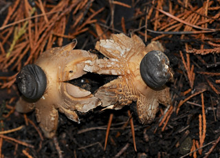 Crowned Earthstar DSC_8270