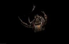 Araneidae (dustaway) Tags: arthropoda mounttamborine tamborinemountain sequeensland queensland australia natur nature australianwildlife night araneidae araneinae orbweaver australianspiders