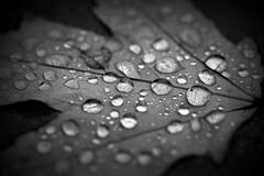 the rain spoke (joy.jordan) Tags: leaf texture raindrops water bokeh pattern nature blackandwhite hmbt