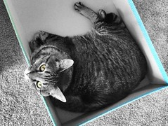 """Anybody can sympathise with the sufferings of a friend, but it requires a very fine nature to sympathise with a friend's success."" ―Oscar Wilde 🐈 (anokarina) Tags: appleiphone5s seattle washington wa southdelridge blue kitten box kitty colorsplash pnw animal pacificnorthwest"