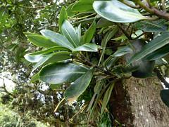 Drimys granadensis L.f. 1782 (WINTERACEAE) (helicongus) Tags: drimysgranadensis drimys winteraceae volcánbarva costarica