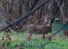Nice Rack_99 (Scott_Knight) Tags: deer buck whitetail horns rack minnesota canon bloomington fortsnelling