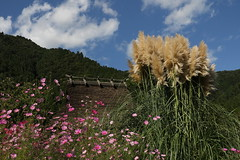 Autumn scenery (yukky89_yamashita) Tags: 秋桜 秋 京都 南丹市 美山町 美山かやぶきの里 cosmos kyoto nantan miyama japan autumn plant roof straw