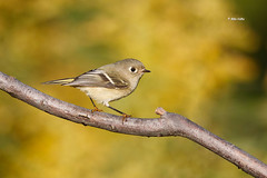 Ruby Crowned Kinglet (Mike Veltri) Tags: kinglet ruby crowned birds avian autumn migration wild naturephotography veltri ontario canada