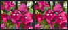 Longwood Gardens Flowers 8 - Parallel 3D (DarkOnus) Tags: pennsylvania bucks county panasonic lumix dmcfz35 3d stereogram stereography stereo darkonus longwood gardens flowers scenic scenery flower botanical garden parallel