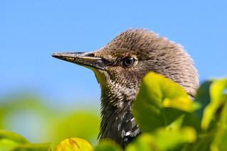 Stari - Common Starling - Sturnus vulgaris