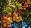 The Strawberry Tree in Mirella's Taverna is in fruit (Fiskardo - Kefelonia - Greece) (Panasonic Lumix Lx15 compact) (1 of 1) (markdbaynham) Tags: greece greek hellas hellenic gr ionian grecia greka fiscardo fiskardo kefelonia cephalonia northernkefelonia panasonic lumix lumixer dmclx15 lx15 1 1inch compact panasoniccompact strawberrytree