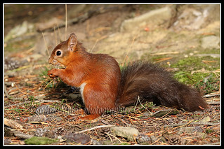IMG_0025 Red Squirrel