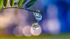 Droplets - 3898 (YᗩSᗰIᘉᗴ HᗴᘉS +8 500 000 thx❀) Tags: drop droplet water macro blue nature green brindille bokeh bokehlicious beyondbokeh yasminehens