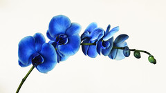 Blue orchids (victoraperez) Tags: blue flower flowers orchid orchids nature beautiful beautyinnature colorful plant 7dwf