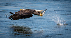 Bald Eagle Fish Grab (Vic Zigmont) Tags: birds eagle baldeagle raptor eaglewithprey raptorwithprey eagleinflight birdinflight eaglewithfish