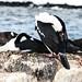 Imperial shag - Antarctica - benjaminmorel.photo