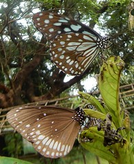Sanjay Gandhi National Park: butterflies - Blue Tiger Tirumala limniace and Euploea core, the common crow (John Steedman) Tags: bombay mumbai मुंबई india maharashtra महाराष्ट्र sanjaygandhinationalpark butterfly euploeacore commoncrow tirumalalimniace bluetiger