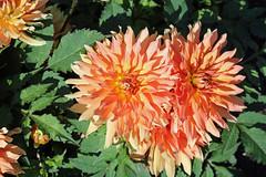Dahlia 'Autumn Fairy' - Decorative Dahlia - BG Berlin (Ruud de Block) Tags: berlinbotanicalgarden botanischergartenberlin asteraceae compositae dahliaautumnfairy decorativedahlia ruuddeblock