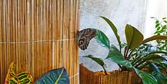 Chilling out (Irina.yaNeya) Tags: dubai uae emirates park butterfly nature plants wall wood dubái eau parque mariposa naturaleza plantas pared madera دبي الامارات حديقة منتزه فراشة طبيعة نباتات حائط خشب дубаи оаэ эмираты парк природа бабочка растения стена дерево