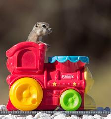 Chipmunk Express... (cindyslater) Tags: train goldenvalleyaz chipmunk cindyslater arizona playskool alvinthechipmunk animal
