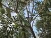 Gusjenica - Caterpillar (Hirike) Tags: gusjenica caterpillar hrvatska croatia dalmacija brač postira