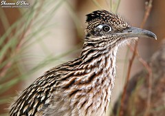 Poor little roadrunner never bothers anyone (Shannon Rose O'Shea) Tags: shannonroseoshea shannonosheawildlifephotography shannonoshea shannon greaterroadrunner roadrunner thecityofhendersonbirdviewingpreserve henderson hendersonbirdviewingpreserve nevada nature wildlife closeup close outdoors outdoor southwest bokeh bird beak feathers art wild wildlifephotography photo photography camera canon canoneos80d canon80d eos80d 80d canon100400mm14556lisiiusm colorful fauna geococcyxcalifornianus flickr wwwflickrcomphotosshannonroseoshea cuckoofamily