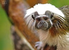 Simian Stare Down (DGS Photography) Tags: missouri branson promisedlandzoo simian monkey marmoset mammal face