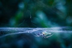 Got my Prey! (ursulamller900) Tags: trioplan2950 extensiontubes 12mm makroring spider baldachinspinne rhododendronzikade bokeh linyphiidae blue spiderweb spinnennetz mygarden